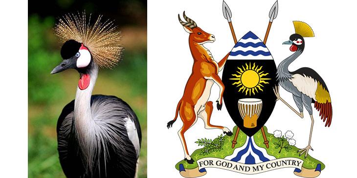 Crested Crane – Koronnik Szary / Godło Ugandy