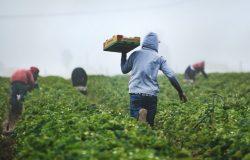 Pracownicy podczas zbioru truskawek