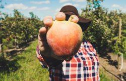 Mężczyzna w sadzie trzymający jabłko
